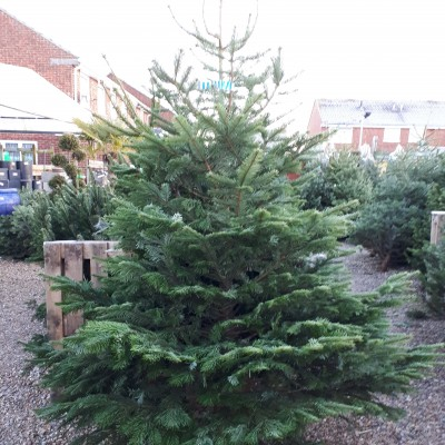 Christmas Trees now in stock